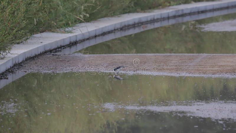 El pequeño pájaro blanco y negro encuentra sus reflexiones fotos de archivo