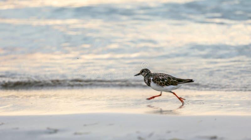 El pequeño pájaro de la lavandera está corriendo en una orilla del océano en la puesta del sol fotografía de archivo