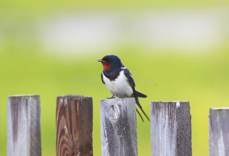 El pequeño pájaro divertido, el trago de granero se está sentando en un de madera viejo foto de archivo
