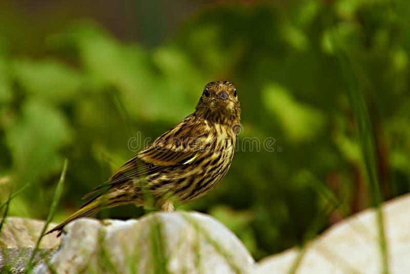 El pequeño pájaro ha volado la bebida foto de archivo libre de regalías