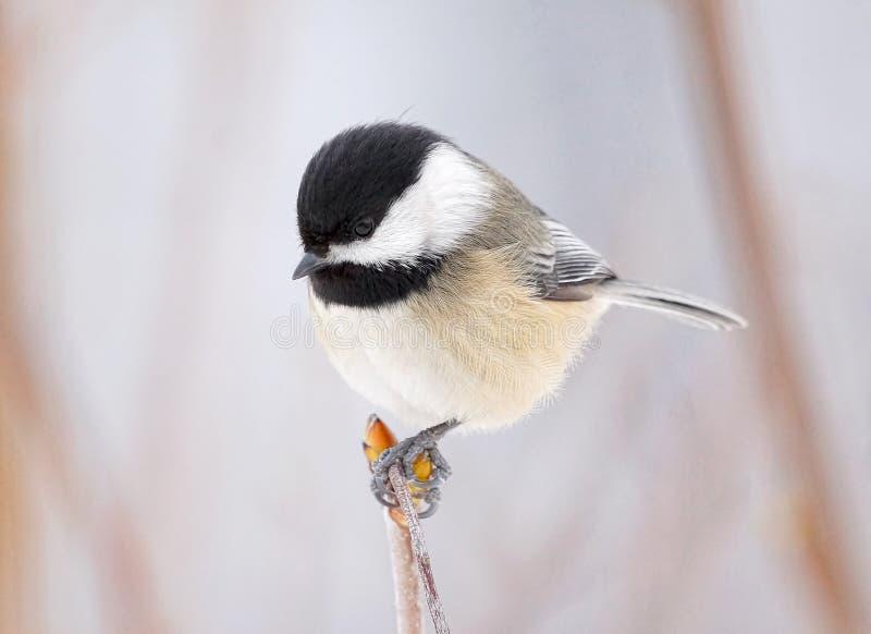 El pequeño pájaro llamó un Chickadee capsulado negro encaramó una rama en invierno foto de archivo libre de regalías