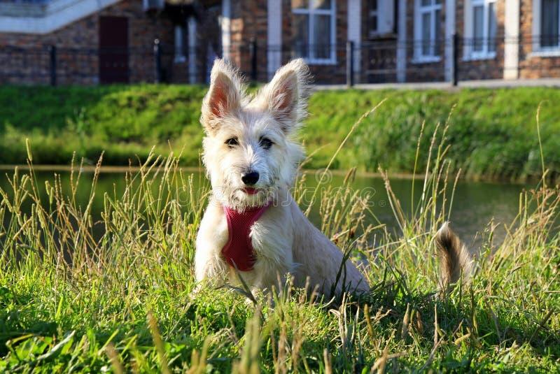 El pequeño perrito blanco se está sentando en una hierba en un parque cerca al lago foto de archivo