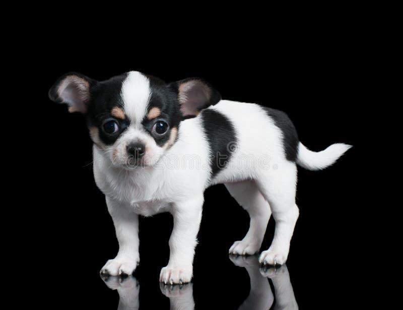 El pequeño perrito de la chihuahua se coloca en fondo negro foto de archivo libre de regalías