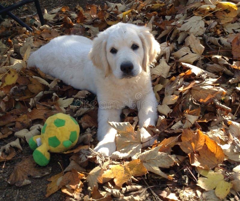 El pequeño perrito está tirando de la muchacha hermosa por el suéter imagenes de archivo