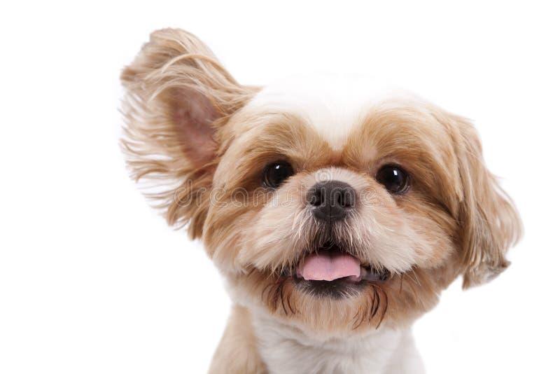 El pequeño perro adorable escucha y levanta el oído imagenes de archivo