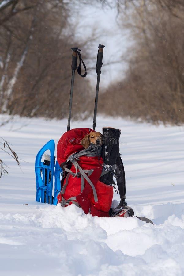 El pequeño perro divertido duerme en una mochila del ` s del caminante en un campo foto de archivo libre de regalías