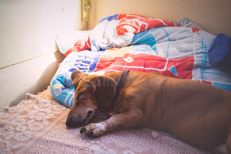 El pequeño perro divertido está durmiendo dulce en el sofá en el remolque fotos de archivo libres de regalías