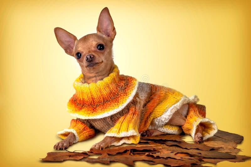 El pequeño perro en amarillo fotografía de archivo