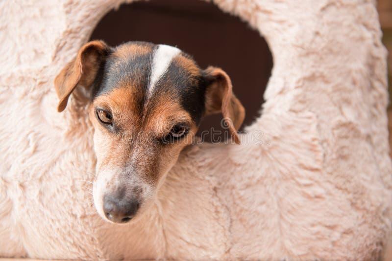 El pequeño perro lindo miente comfortablemente en una cueva del gato - Jack Russell 10 años - estilo de pelo liso imágenes de archivo libres de regalías