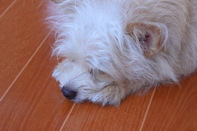 El pequeño perro marrón dormía fotografía de archivo
