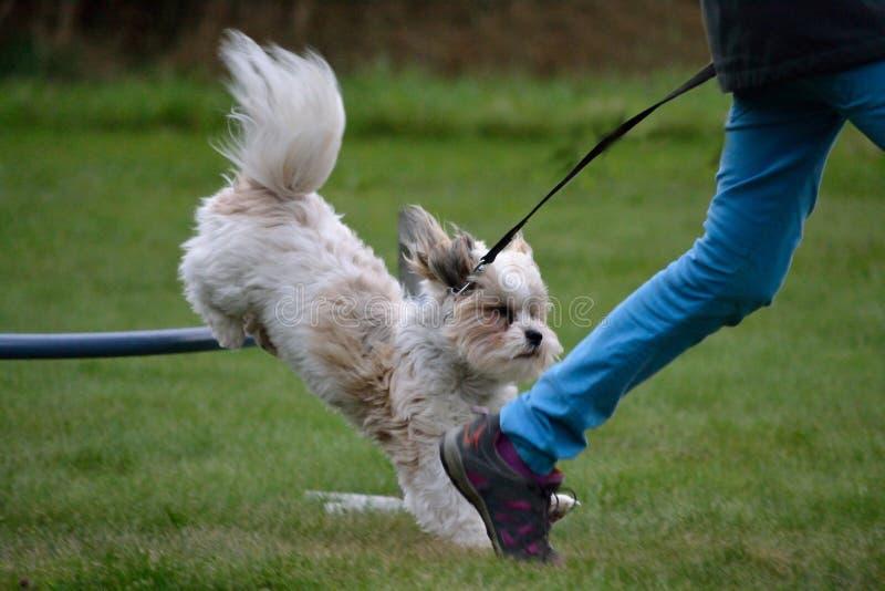 El pequeño perro salta sobre obstáculo fotos de archivo libres de regalías