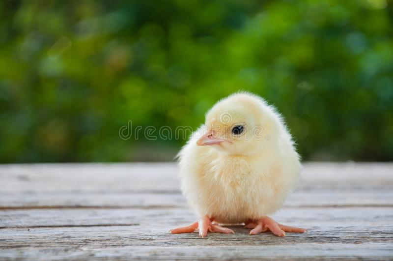 El pequeño pollo blanco lindo se coloca en una tabla de madera entre el fondo natural imagenes de archivo