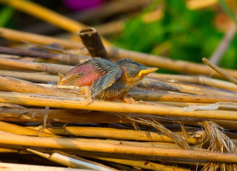 El pequeño polluelo desnudo de los pájaros del canto cayó del patito feo de la jerarquía foto de archivo