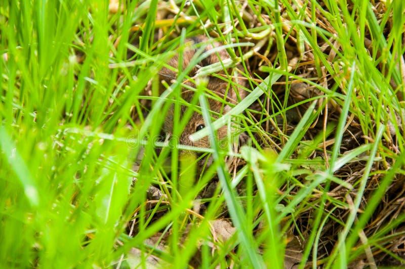 El pequeño ratón de campo ocultó en hierba verde clara Verano foto de archivo