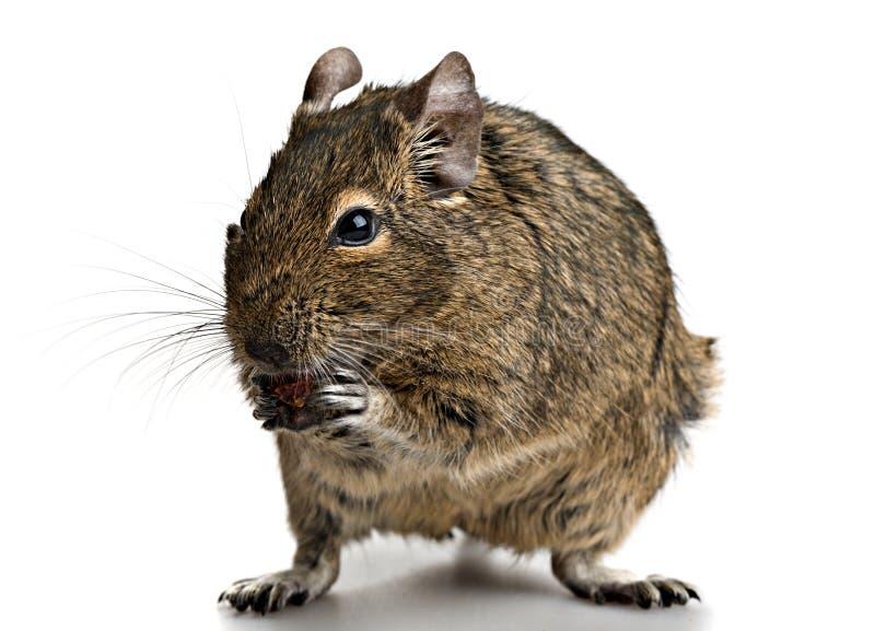 El pequeño roedor se coloca con la comida en patas imagenes de archivo