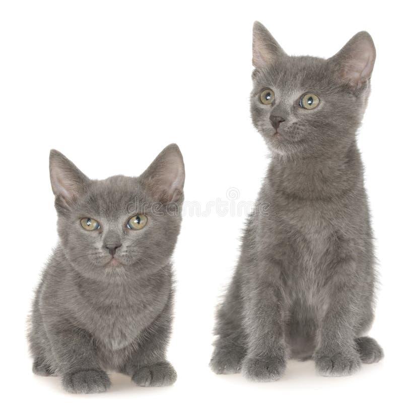 El pequeño sentarse gris del gatito del shorthair dos aislado imágenes de archivo libres de regalías