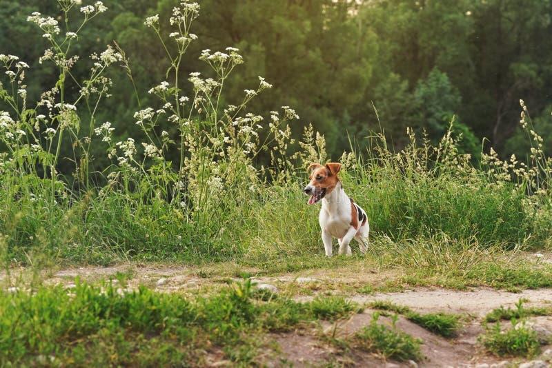 El pequeño terrier de Jack Russell que se sienta en el prado de la hierba, sol brilla en fondo detrás de árboles fotos de archivo libres de regalías