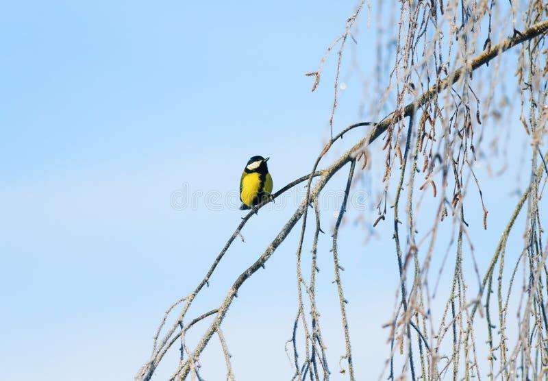el pequeño tit brillante del pájaro se sienta en las ramas del abedul cubiertas con helada blanca mullida y nieve en un parque es imagen de archivo