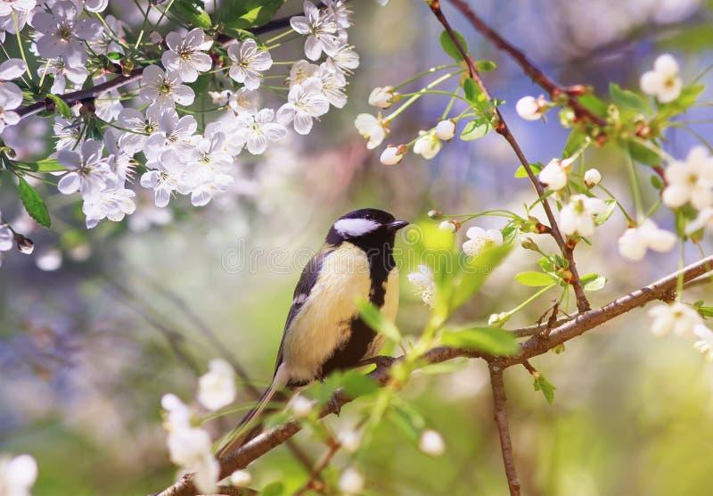 el pequeño tit del pájaro que se sienta en una rama de flores de cerezo en el jardín de la primavera de puede foto de archivo