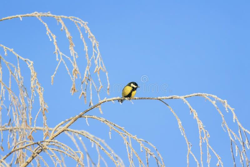el pequeño tit del pájaro se está sentando en las ramas del abedul cubiertas con helada blanca mullida y nieve en un parque escar fotografía de archivo libre de regalías