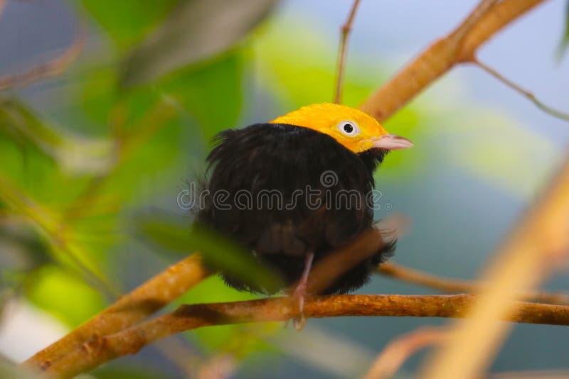 El pequeño varón de oro-dirigió el manakin que se encaramaba en una rama delante de las hojas verdes borrosas imagen de archivo