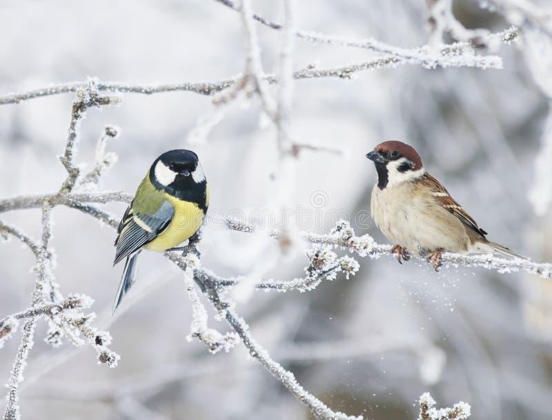 El pequeños tit y gorrión curiosos divertidos del pájaro dos se sientan entre el salvado fotos de archivo