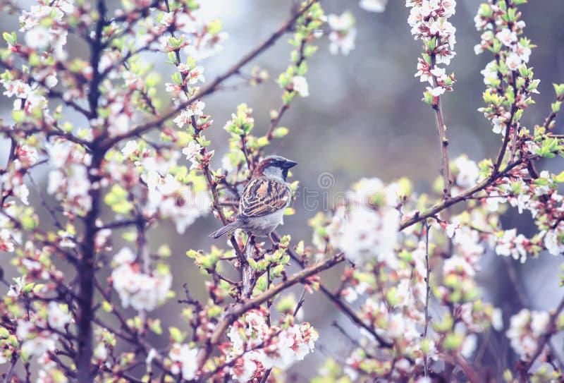 El peque?o gorri?n del p?jaro que se sienta en las ramas de flores de cerezo en puede cultivar un huerto en la lluvia caliente imagenes de archivo
