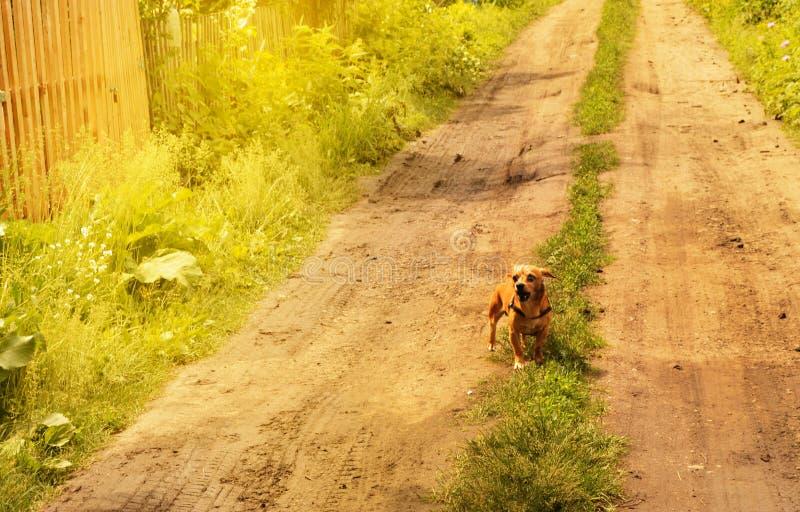El peque?o perro rojo enojado se coloca en el camino y mira agresivamente, al aire libre en un d?a de verano imagenes de archivo