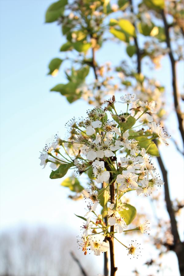 El peral de florecimiento florece en pequeña rama imagen de archivo