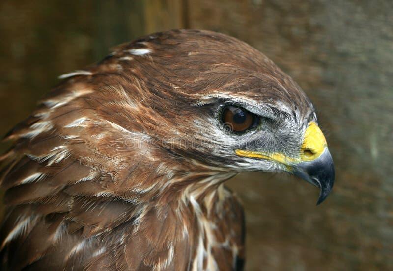 El perfil de los halcones fotografía de archivo libre de regalías