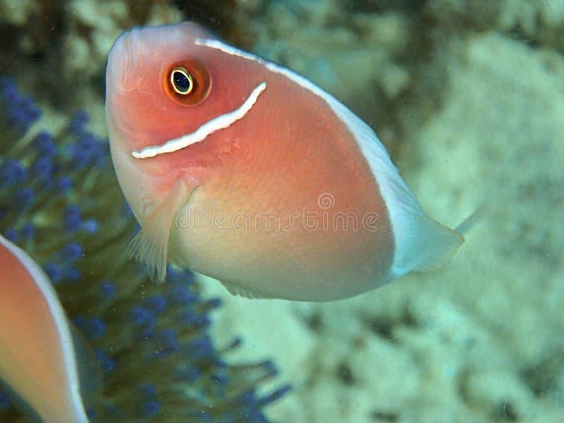 El perideraion del Amphiprion también conocido como los clownfish rosados de la mofeta o los anemonefish rosados, es una especie  foto de archivo