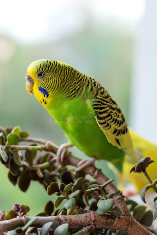 El periquito se sienta en una rama El loro verde-se colorea brillantemente El loro del pájaro es un animal doméstico Hermoso, lor foto de archivo