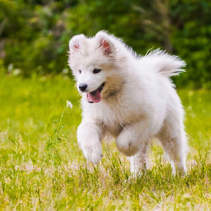 El perrito adorable del samoyedo está corriendo y está saltando fotos de archivo libres de regalías