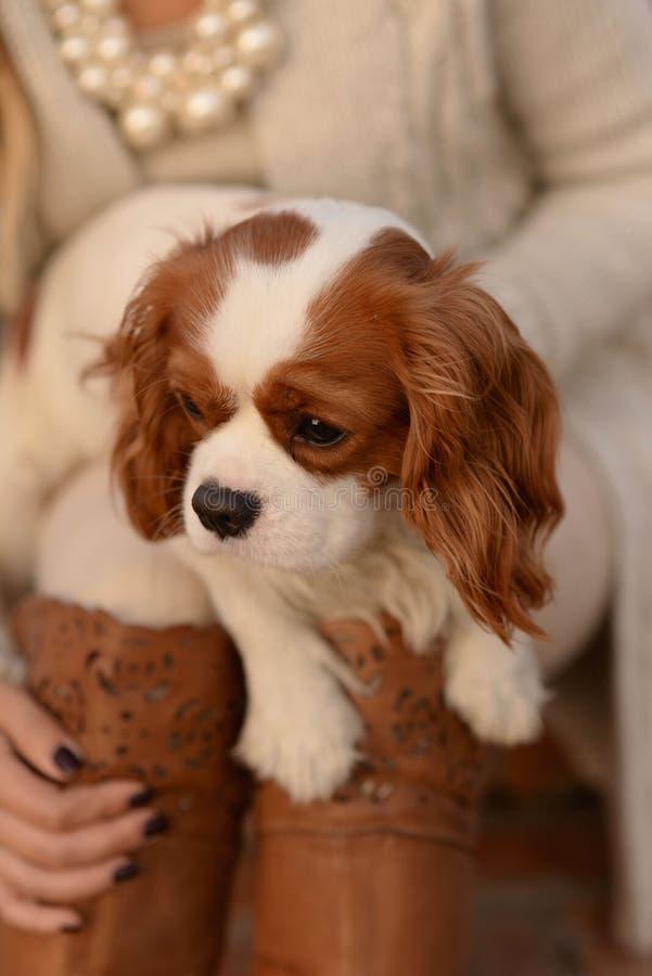 El perrito arrogante del perro de rey Charles Spaniel se está sentando en el revestimiento de una mujer y está mirando el lado fotografía de archivo libre de regalías