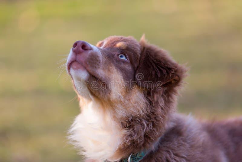 El perrito australiano del pastor mira para arriba foto de archivo