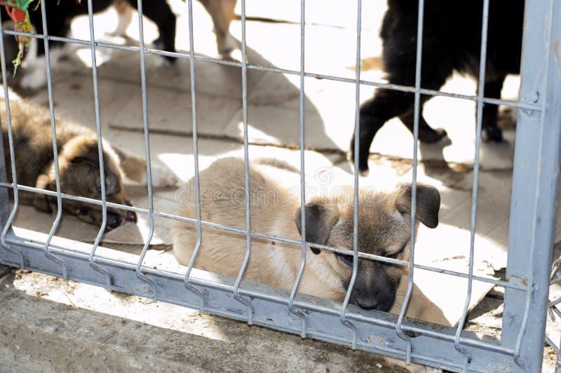 El perrito beige miente en la casa del refugio fotografía de archivo