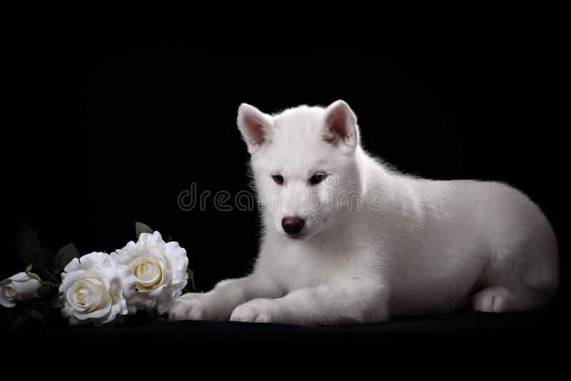 El perrito blanco del husky siberiano y subió fotografía de archivo libre de regalías