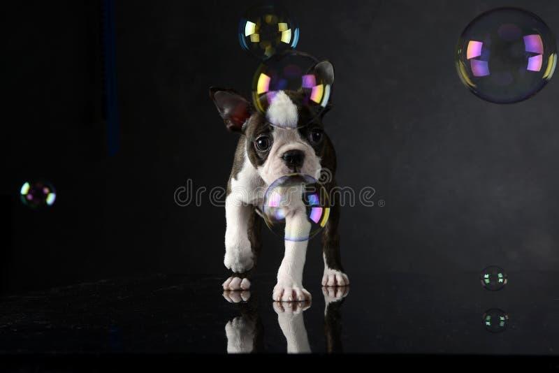 El perrito Boston Terrier juega con las burbujas en un estudio de la foto imagen de archivo