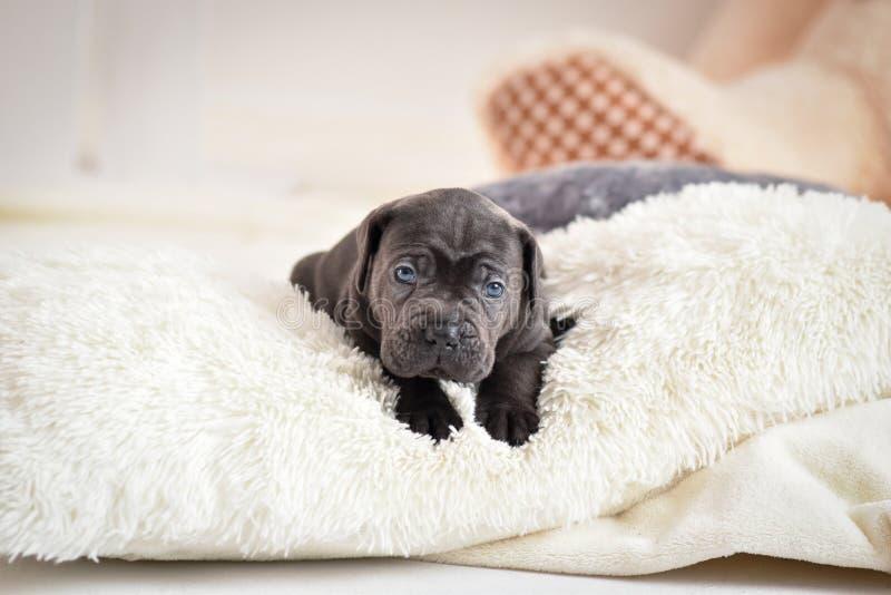 El perrito Cane Corso miente en una cama imagen de archivo
