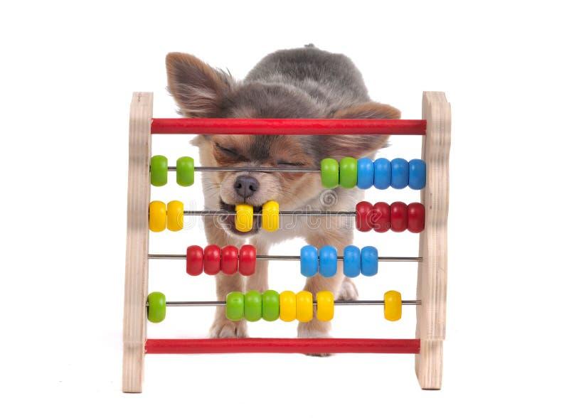 El perrito de la chihuahua está aprendiendo contar con el ábaco fotos de archivo