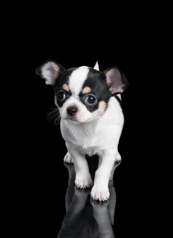 El perrito de la chihuahua se coloca en fondo negro imagenes de archivo