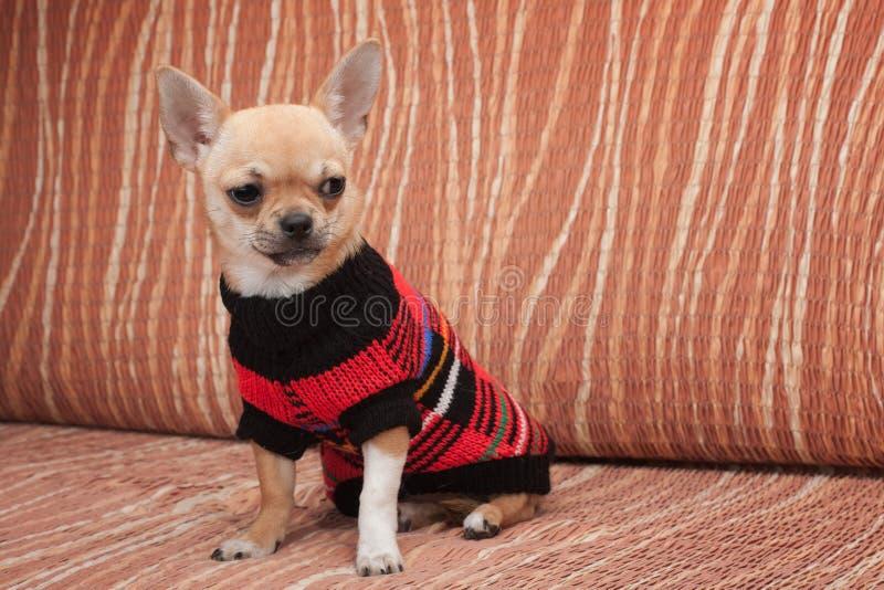 El perrito de la chihuahua se vistió con el jersey que se sentaba en el sofá fotografía de archivo
