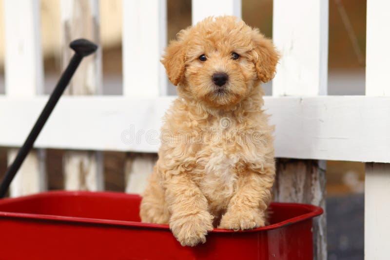 El perrito de la mezcla del caniche se sienta en carro rojo delante de la cerca blanca fotos de archivo