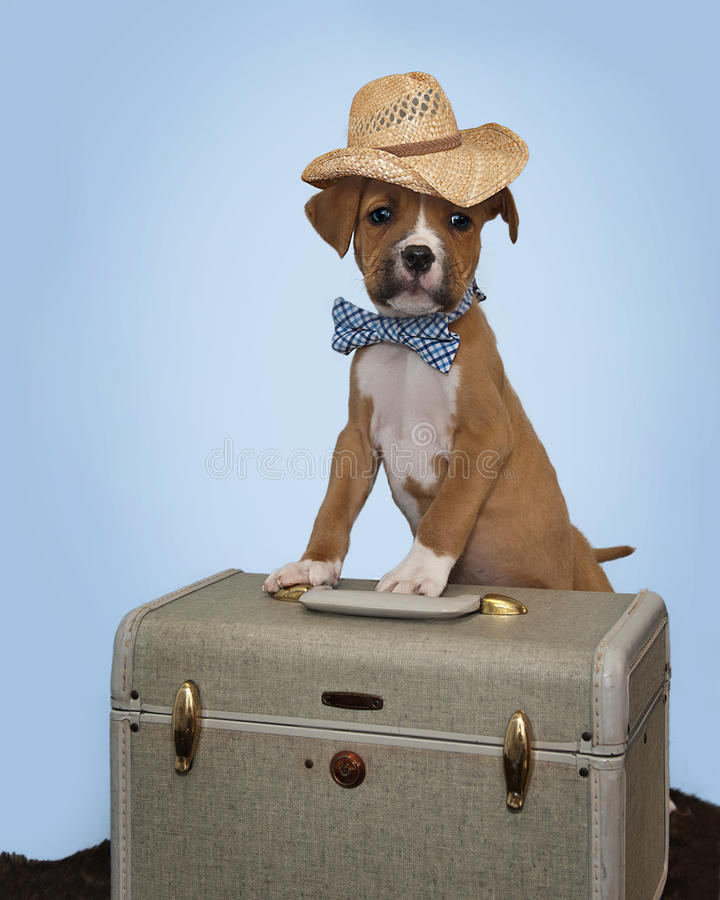 El perrito del boxeador que viaja vestido todo para arriba y alista para ir a casa imagenes de archivo