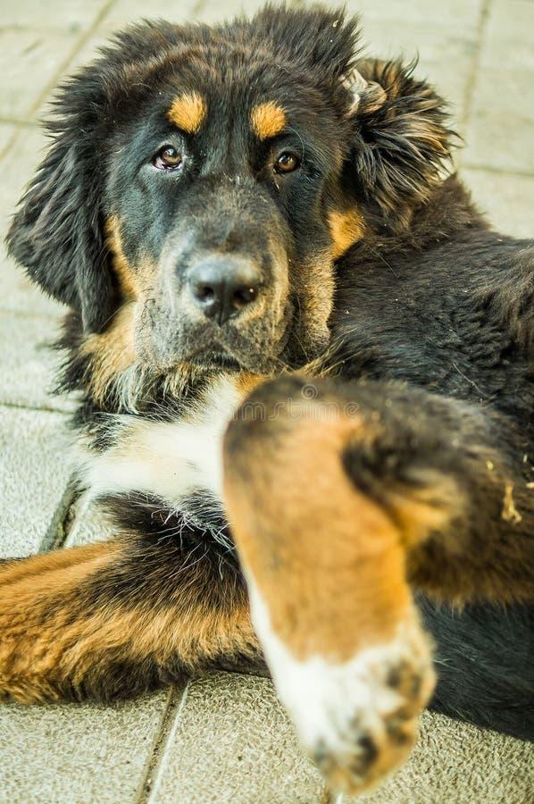 El perrito del mastín tibetano imagenes de archivo