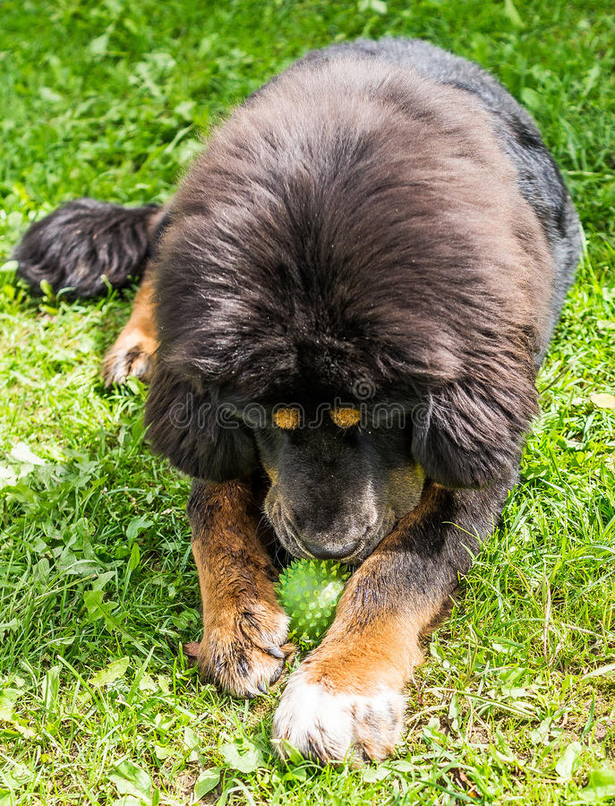 El perrito del mastín tibetano fotografía de archivo libre de regalías