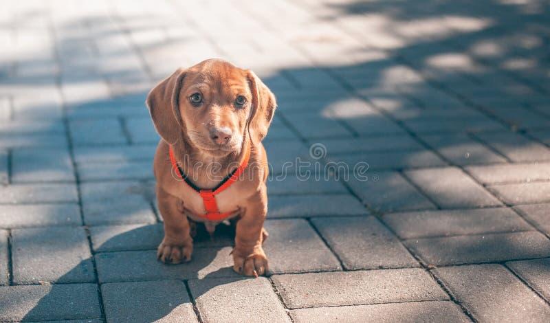El perrito del perro basset del color marrón en un cuello rojo se sienta imagen de archivo