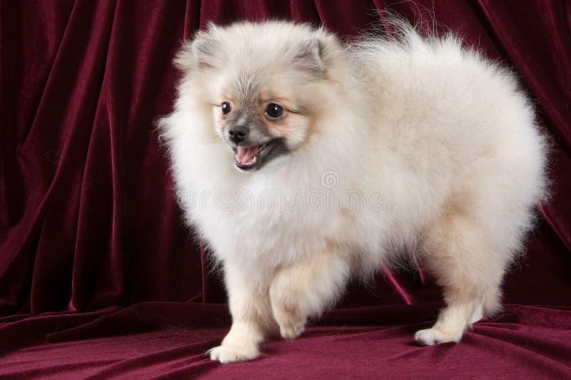 El perrito del perro de Pomerania-perro fotos de archivo