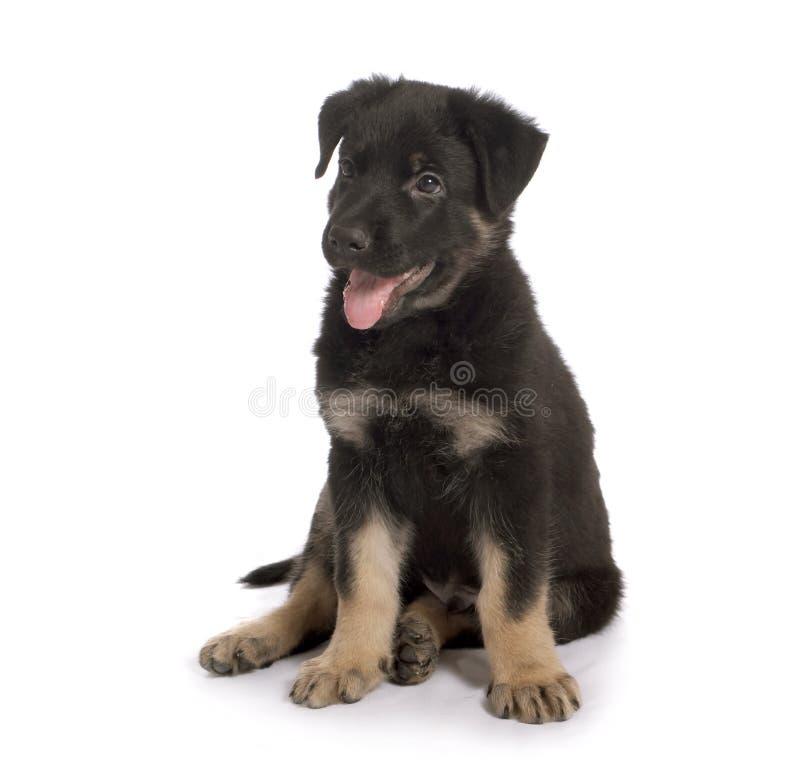 El perrito del perro pastor imagen de archivo libre de regalías