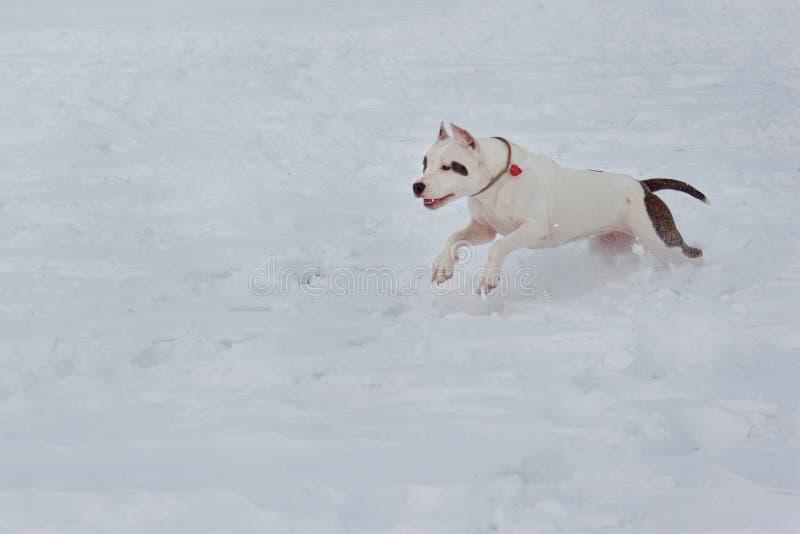 El perrito del terrier de Staffordshire americano está corriendo en la nieve blanca Animales de animal doméstico imágenes de archivo libres de regalías